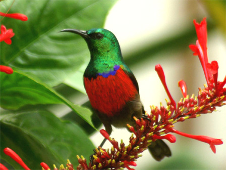 Northern Double-collared Sunbird Cinnyris reichnowi Cameroon Biodiversity Conservation Society car park,Cameroon Image Credit:  Roger Fotso